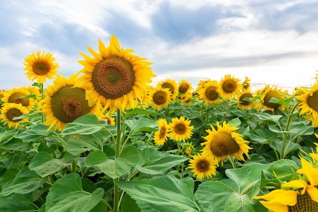 Естественный фон подсолнечника. цветение подсолнечника. крупный план подсолнечника.