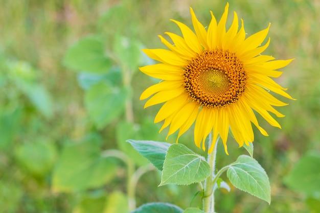 Sunflower natural. sunflower blooming.