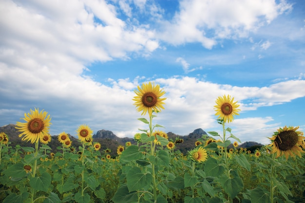 Sunflower in nature at blue sky.