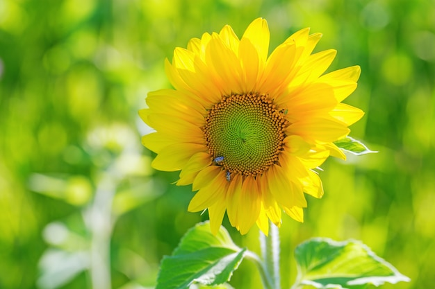 Sunflower in nature on field in sunny summer day.