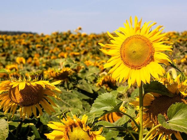 여름 배경에 해바라기입니다. 선택적 초점입니다. 해바라기 밭 배경입니다. 해바라기 질감의 닫습니다