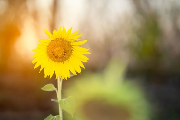 夏のひまわり背景をぼかした写真 Premium写真
