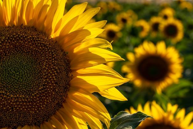 Лепестки подсолнуха смотрят на солнце в прекрасный день на полях кастилья-ла-манча, испания
