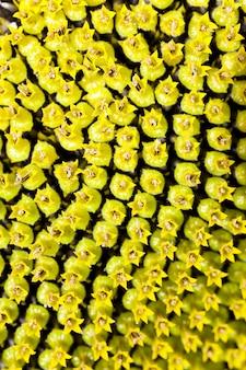 ひまわり-写真は黄色い花ひまわりをクローズアップ