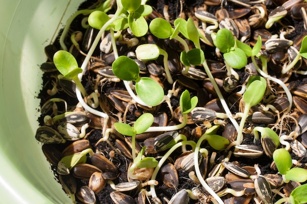 Sunflower plant sprouts germinating in soil