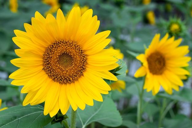 Подсолнечник, плантация желтых цветов. летнее настроение. виды природы.