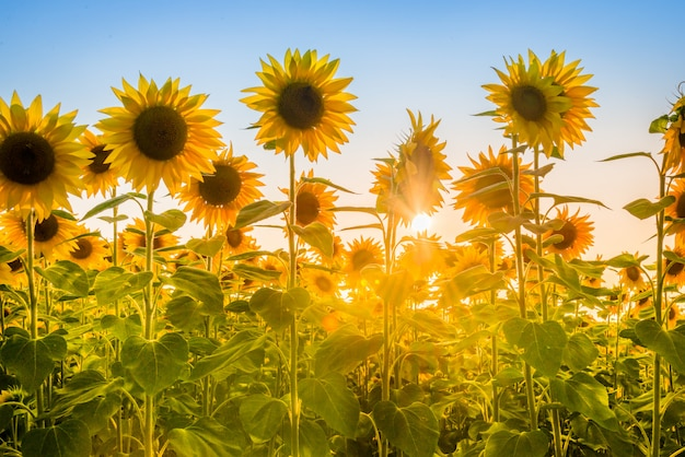 Sunflower plants under the sun rays.