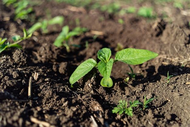 해바라기 모종 녹색 작은 필드에서 땅에서 자랐습니다.