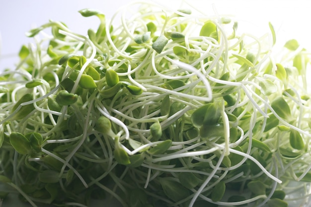 Sunflower seedlings microgreen organic