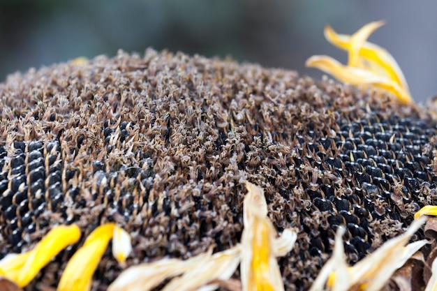 Семена подсолнечника на сфотографированном крупным планом на черных зрелых семенах подсолнуха