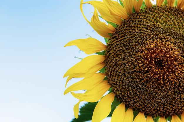 Sunflower at sky.