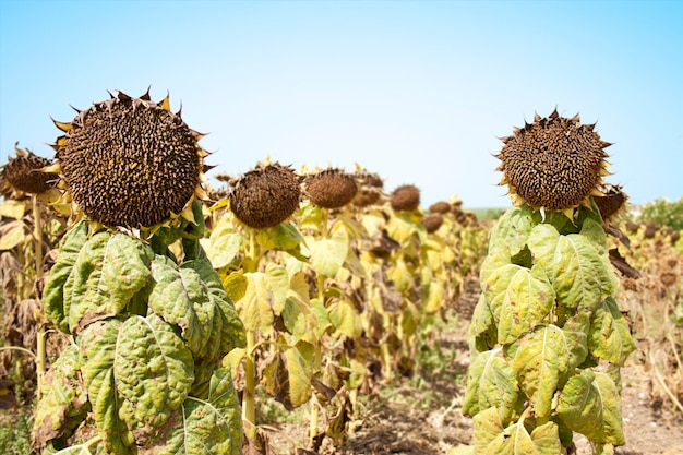 Sunflower soldiers in the field