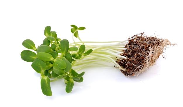 白で分離されたヒマワリの芽
