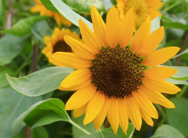 Sunflower, thailand