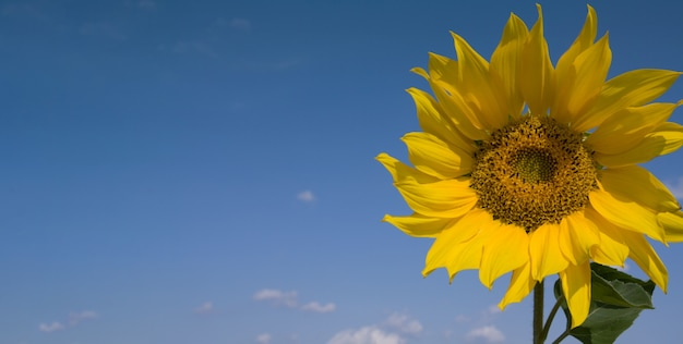 Sunflower in the wind against the sky on a bright sunny day