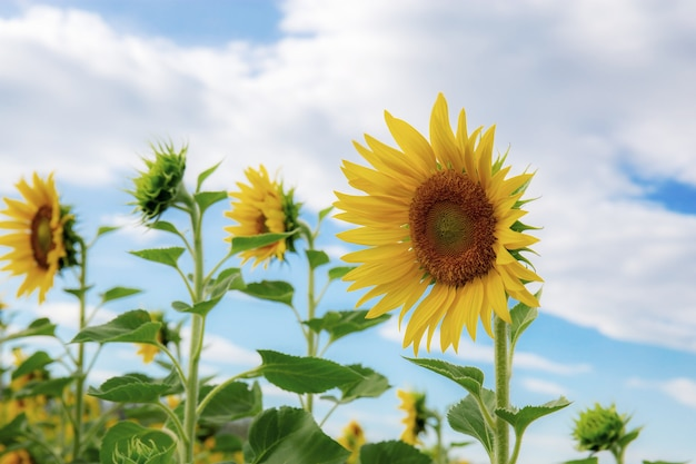 Sunflower in winter with beautiful at the blue sky.