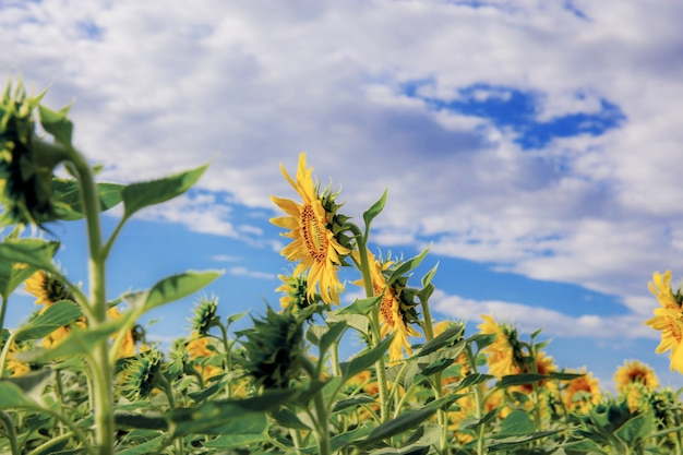 Sunflower with beautiful at the blue sky in winter.