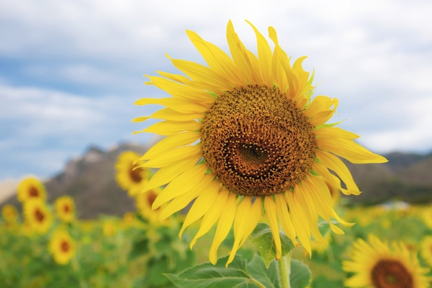 Sunflower with beautiful on field at the sky.