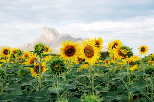 Sunflower with beautiful on hill.