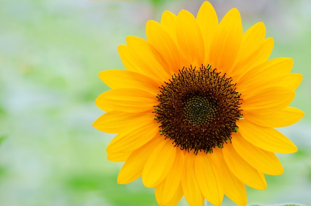 Sunflower with a blurred white background