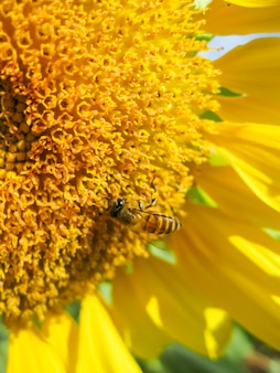 Sunflower with bright yellow gold with little honey bees