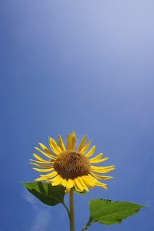 Sunflower with clear blue sky background