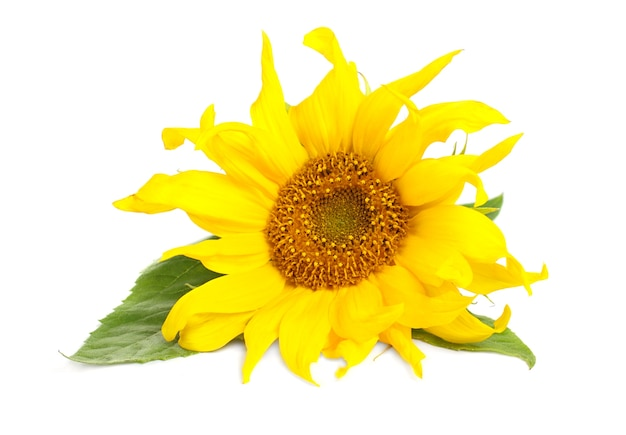 Sunflower with green leaves isolated over white