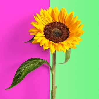 Sunflower with leaves and stem on abstract pink green background. flower object with clipping path