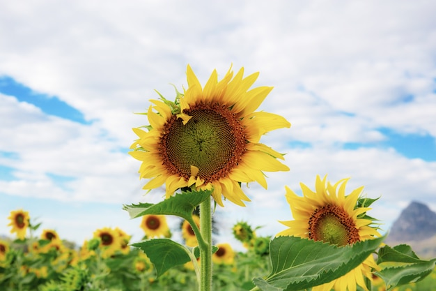 Sunflower with sky in summer