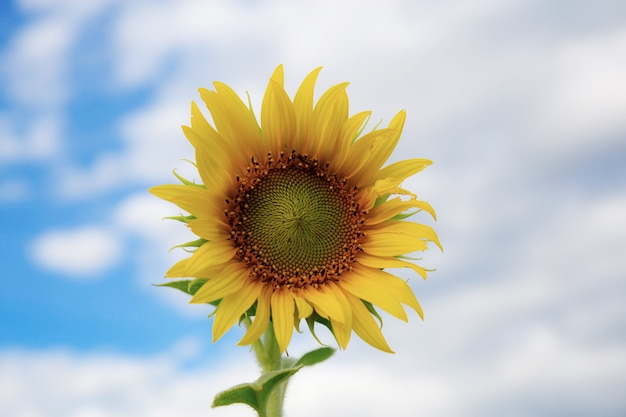 Sunflower with the sky.