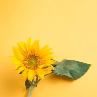 Sunflower on yellow background