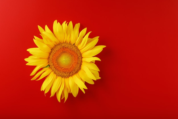 Sunflower yellow on a red. free space for copying.