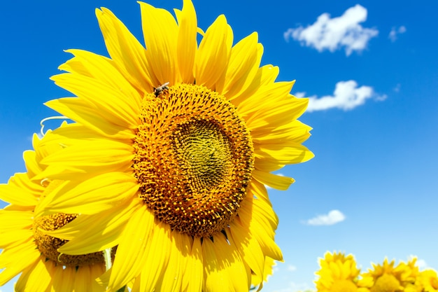 Sunflowers agriculture farming rural economy agronomy concept