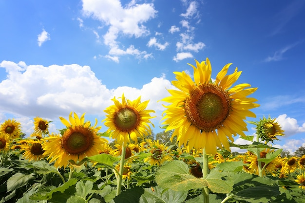 Sunflowers are blooming on a blue sky