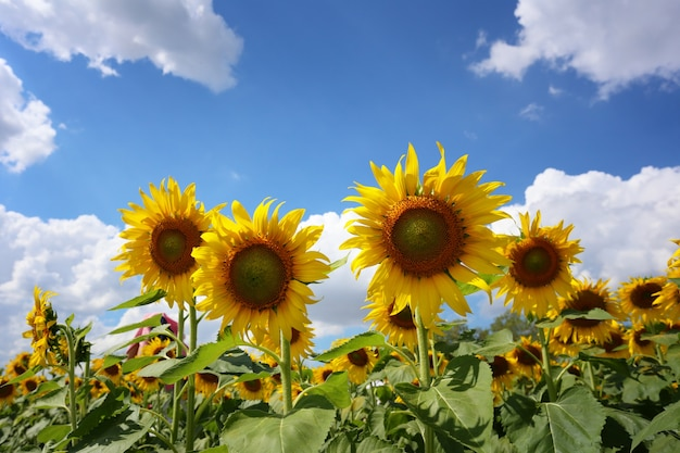 Sunflowers are blooming on blue