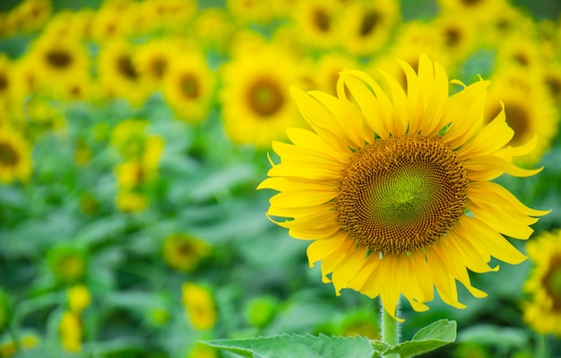 Sunflowers are blooming in the garden.