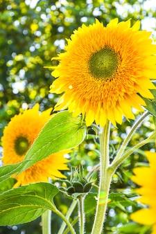 ひまわりは初秋の日光、太陽光線のある庭の美しいひまわり、夏の屋外の自然の背景でフィールドに咲いています。コピースペース、縦の写真