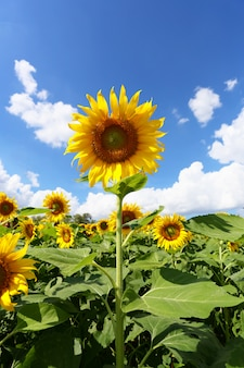 Sunflowers are blooming and light from the sun on a clear day.