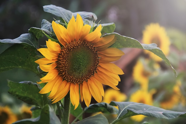 Sunflowers are blooming in spring