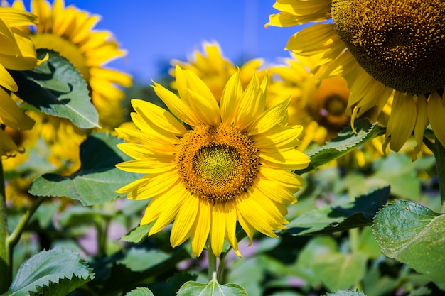 Sunflowers are blooming.