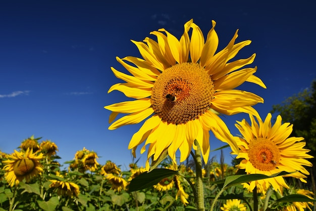 Sunflowers blooming in farm - field with blue sky and clouds. beautiful natural colored background. flower in nature.