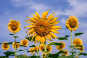 Sunflowers blooming in blue sky