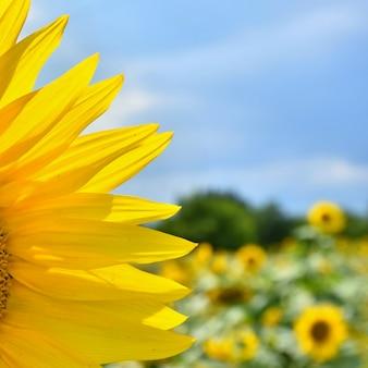農場で咲くひまわり - 青空と雲のフィールド。美しい自然の色の背景。自然に花。