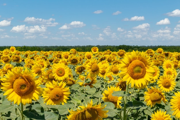 Sunflowers on the blue sky agriculture farming rural economy agronomy concept
