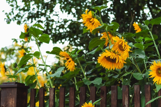 Sunflowers over brown fence. outdoor picture. beautiful scenery.