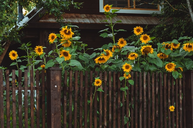 Sunflowers over brown fence. outdoor picture.