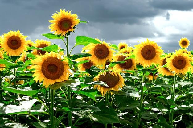 Sunflowers field against a cloudy blue sky. agriculture. beautiful summer landscape