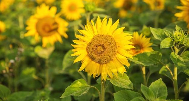햇빛에 일출 해바라기 밭입니다. 여름 또는 가을 배경입니다.