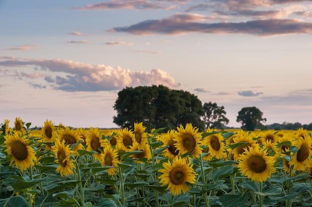 아름다운 여름 저녁, 농업 풍경, 농지에 해바라기 밭