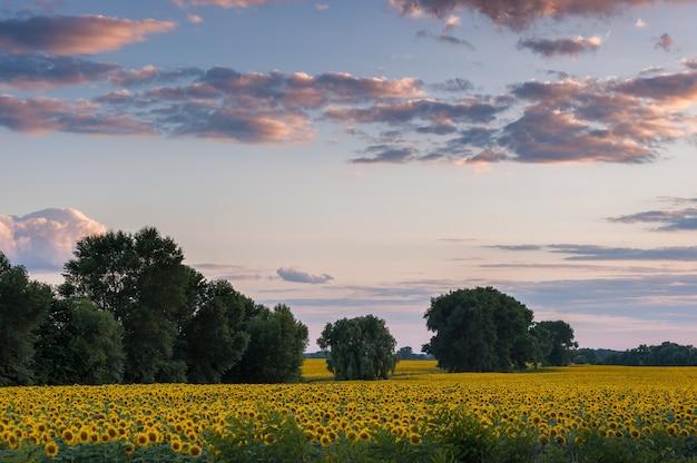 아름 다운 여름 저녁에 해바라기 밭, 농업 풍경